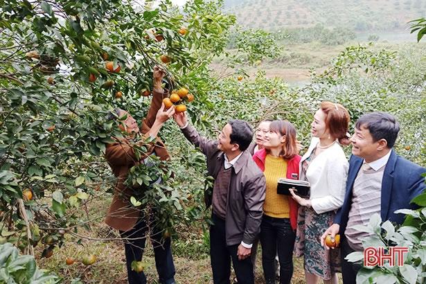 Cam bù Hương Sơn đạt tiêu chuẩn VietGap