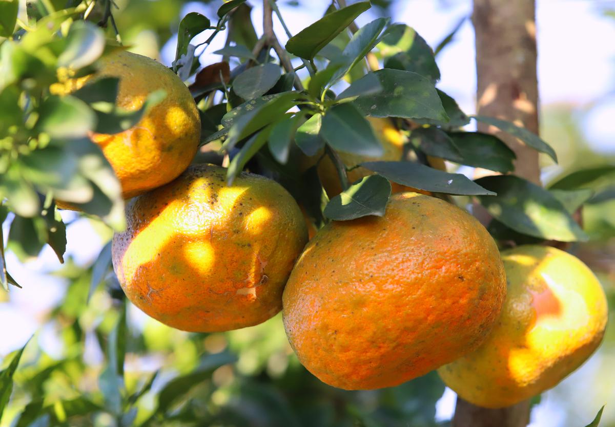 Cách trồng và chăm sóc cam bù Hương Sơn
