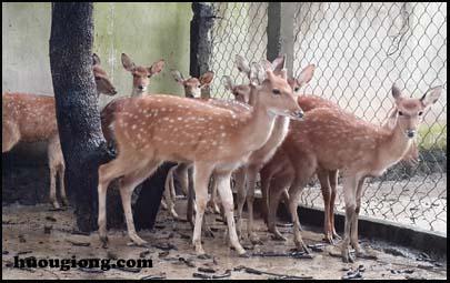 Địa chỉ cung cấp hươu giống chất lượng, giá rẻ tại Hương Sơn - Hà Tĩnh